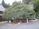 hyakusaiji_bodaiju.JPG